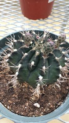 Thorny Cactus